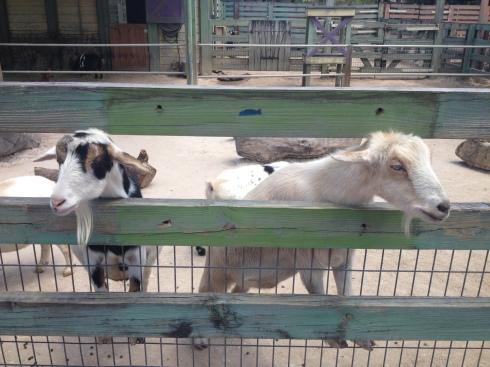 goatses